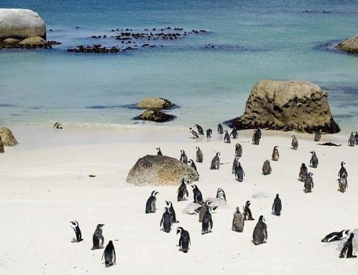 Pinguins op boulders beach in Zuid-Afrika