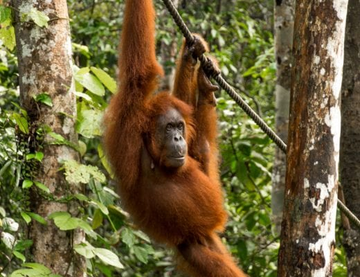 Oran-oetang in Semmengoh op Borneo