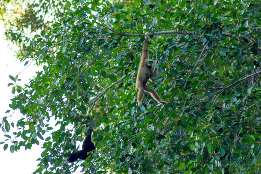 Gibbons in Khao Sok