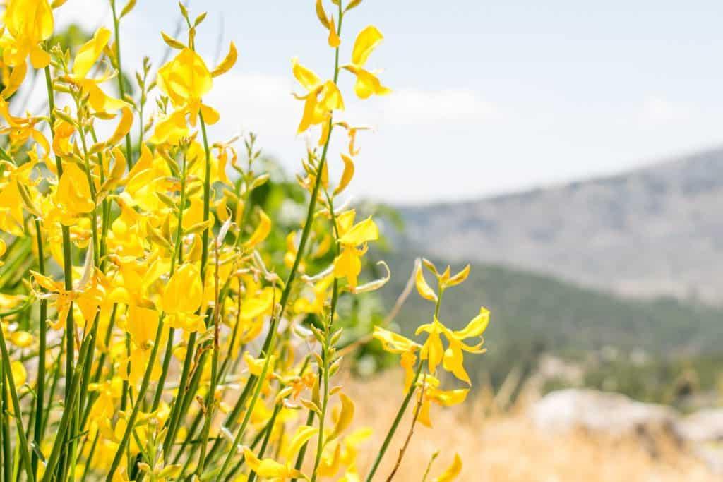 Bloemen op Chios