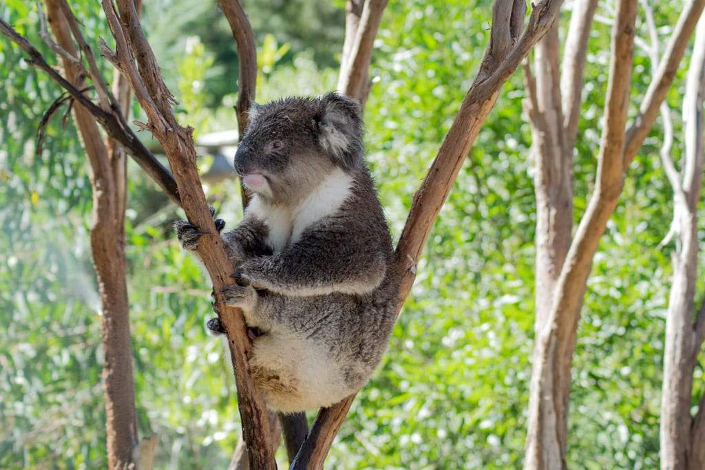 Koala in de Healesville Sanctuary