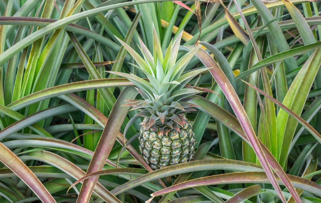 Eten Hawaii - Ananas